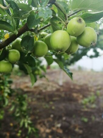 green young apples on the tree Banco de Imagens