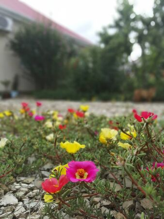 purslane on the rocks in the yard