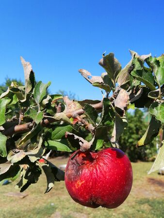 rotten red apple on a branch, against the sky, close-up. the idea is ecology. spoiled crop. unhealthy diet aging