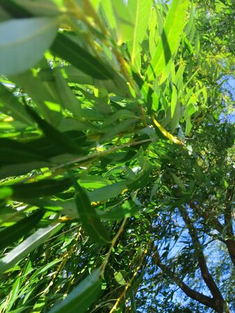 green willow tree branches. develop in the wind against a blue sky. view from the bottom up. look like algae. leaf texture