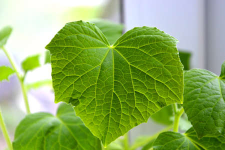 The veins on the leaf of a cucumber close-up. Blurred background. Green leaves reflect the sun. Growing vegetables.