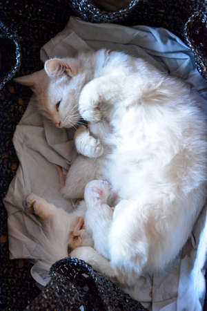 Cat has given birth to cats. The white cat is lying with the kittens.
