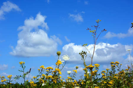 Beautiful natural summer landscape. Wildflowers and daisies against a blue sky and white clouds. Prairie grasses grow in the open air. Banque d'images