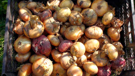 Onions are harvested in autumn. Onion close-up. Harvesting onions. Agricultural work in the garden.