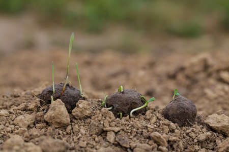 Guerrilla gardening. Plants sprouting from a seedball. Seed Bombs on dry soil