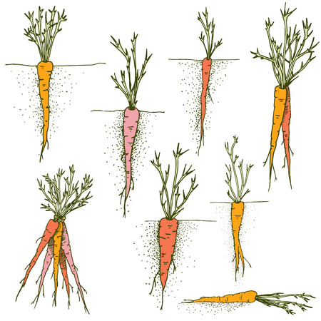 Vector carrots Hand drawn clip art set of colorful vegetables and root