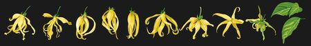 ylang ylang vector clip art set of tropical botanical illustrations. Yellow wild flowers with green leave