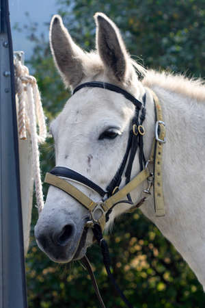 headcollar: A white mule with bridle