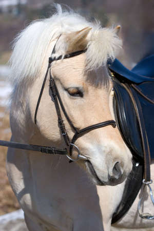 Portrait of a Norwegian Fjordhorse with sadle and bridle.