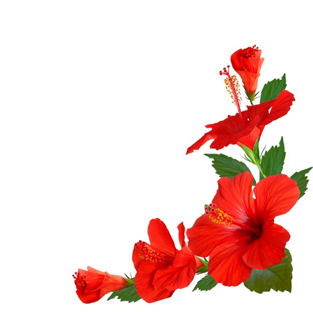 tropical frame: hibiscus flowers