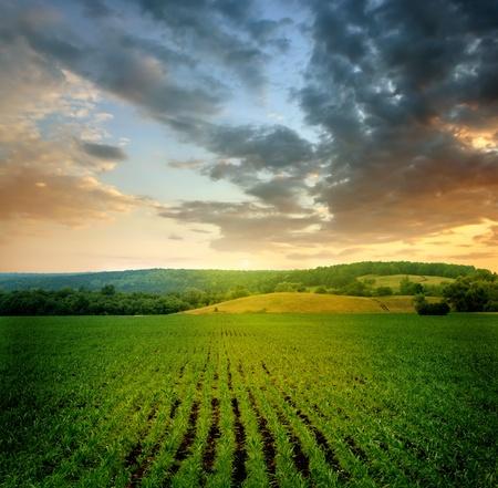 mazorca de maiz: hermoso paisaje Foto de archivo
