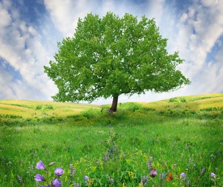 leafy trees: �rbol de roble en el campo de flores Foto de archivo