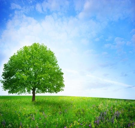 arboles frondosos: árbol de roble en el campo de flores Foto de archivo