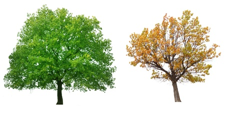 tree canopy: trees isolated on white background