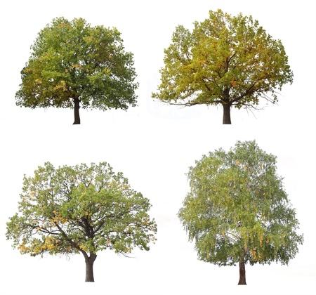 arboles frondosos: árbol de otoño aislados en fondo blanco Foto de archivo