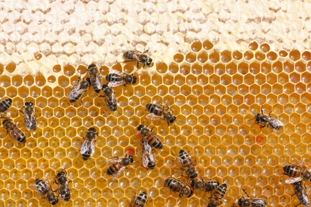 praiseworthy: honey comb and a bee working