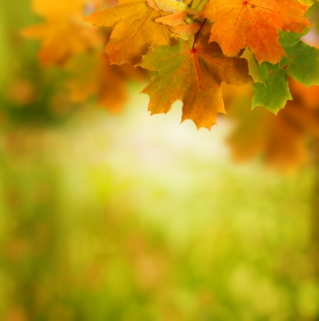 colorful maple trees: autumn background Stock Photo