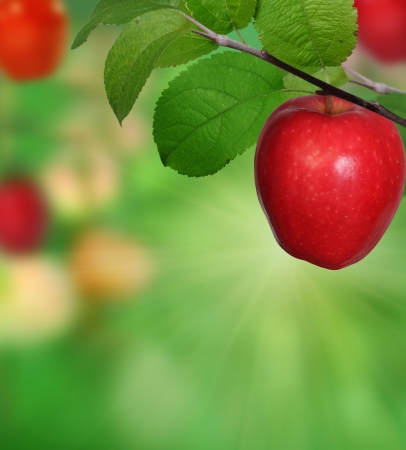 apple orchard: Branch with apples