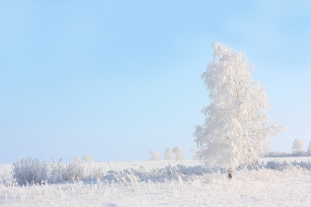 rime frost: winter tree