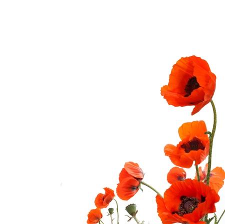 amapola: amapolas rojas