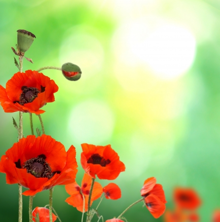 red poppies Stock Photo - 18005475