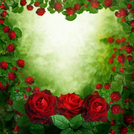 flower border pink: beautiful red roses background