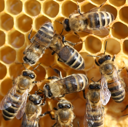 bees on honeycomb  photo