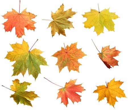 hojas secas: Hojas aisladas hojas de arce Foto de archivo