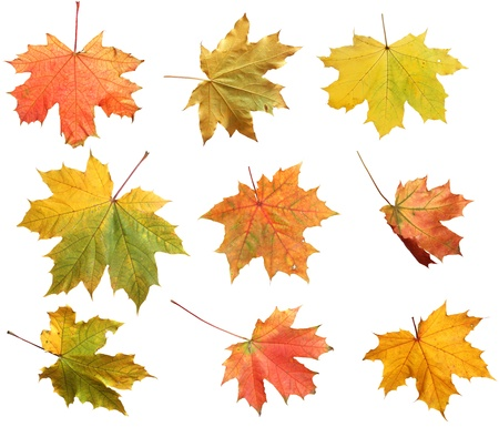 dry leaves: Isolated autumn maple leaves  Stock Photo