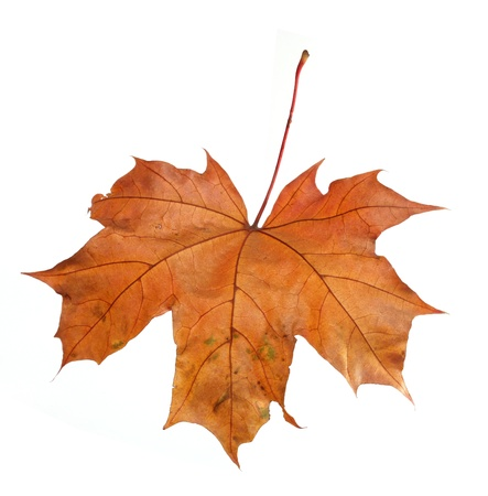 maple leaf isolated on a white background  Stock Photo - 22145878
