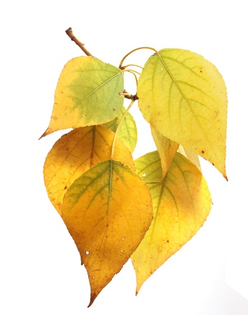 Isolated autumn leaves Stock Photo - 22145880