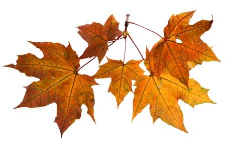 Isolated autumn leaves Stock Photo - 22145881