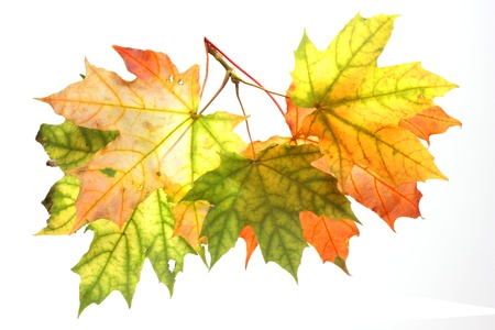 Isolated Autumn Leaves  Stock Photo - 22145913