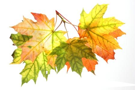 Isolated Autumn Leaves Stock Photo - 22145913