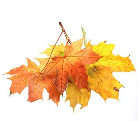 Isolated Autumn Leaves Stock Photo - 22145914