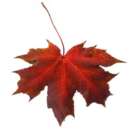 Isolated autumn maple leaf Stock Photo - 22145915