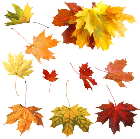 Isolated autumn maple leaves Stock Photo - 23109949