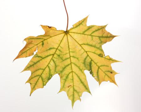hojas secas: Aislado hoja de oto�o de arce