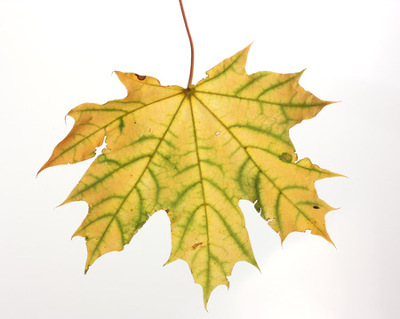 Isolated autumn maple leaf  photo