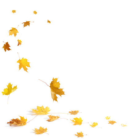 autumn leaf: Isolated autumn leaves