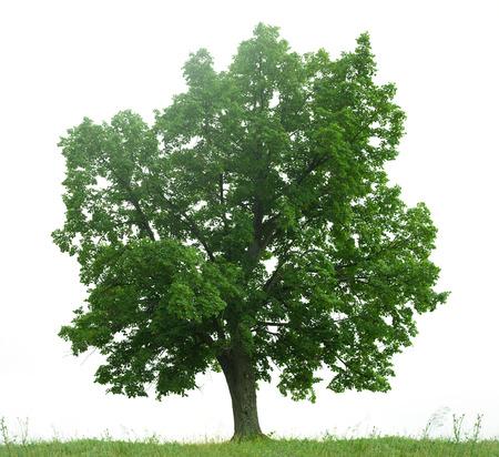 arboles frondosos: árbol verde aisladas en blanco