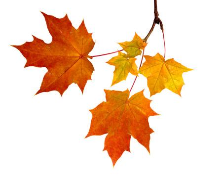 Rama de hojas de otoño aislado sobre fondo blanco. Foto de archivo