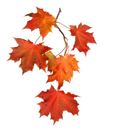 가을의 분기에 격리 된 흰색 배경에 나뭇잎 스톡 콘텐츠
