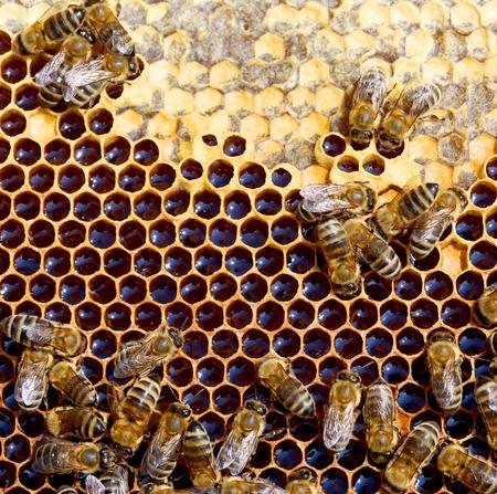 abeja reina: celdas de miel y las abejas que trabajan