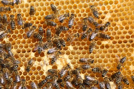 abeja reina: miel de panal y una abeja de trabajo