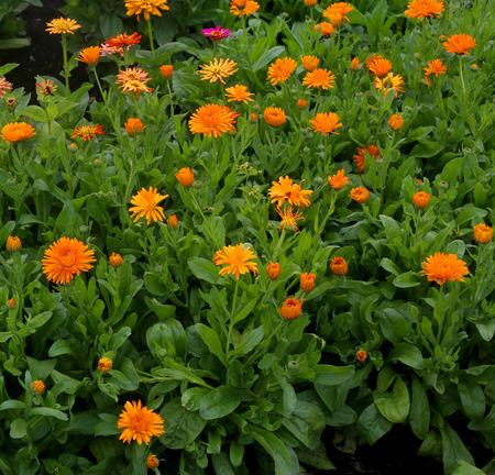 garden marigold: Marigold flowers