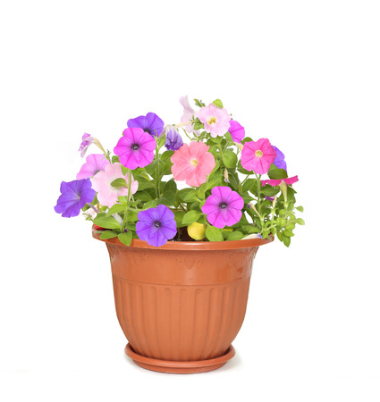 petunia: flower in pot