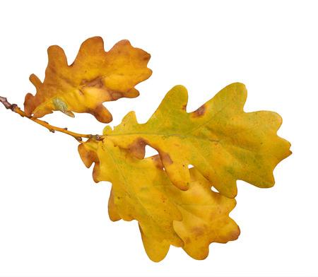 roble arbol: Hojas de otoño de roble aislada