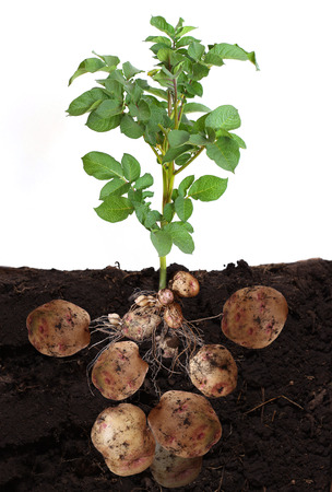 roots: potato vegetable with tubers and leaves in ground. Stock Photo