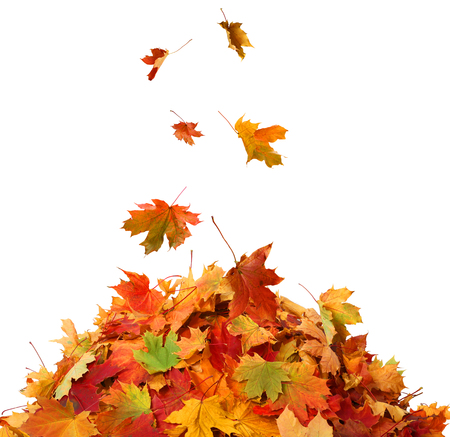 red maples: Pile of Fall Leaves Stock Photo